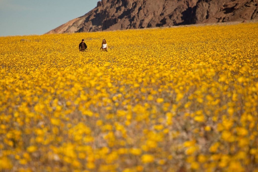 Death Valley Super Bloom February 2016. Source: Mike Byrnes. Used with permission.